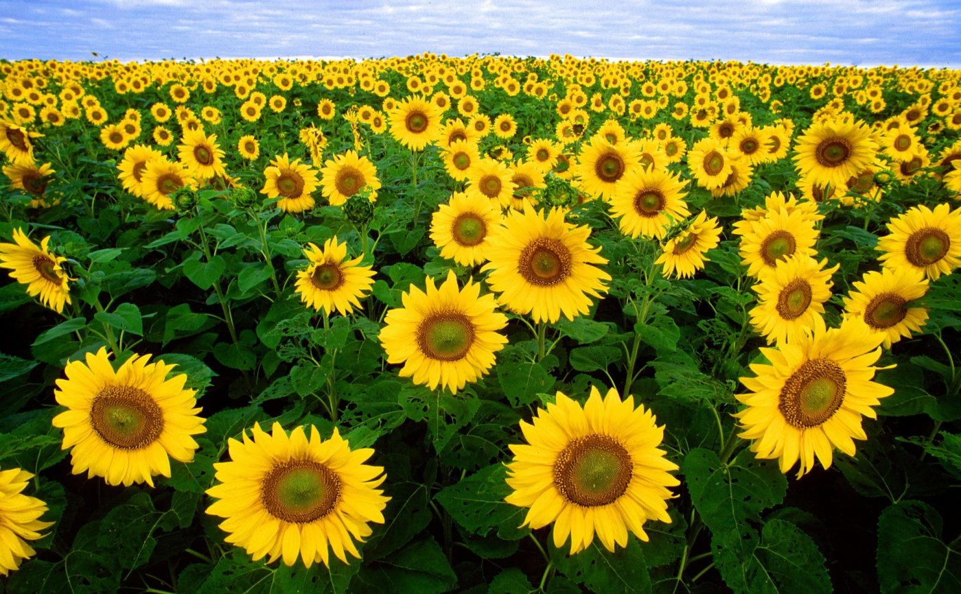 sunflower-11574_1920