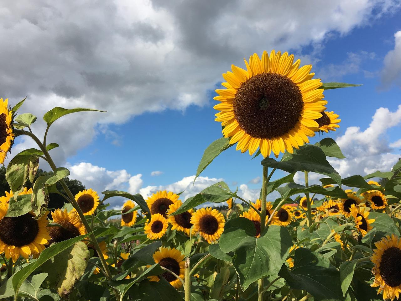 sunflower-961739_1280